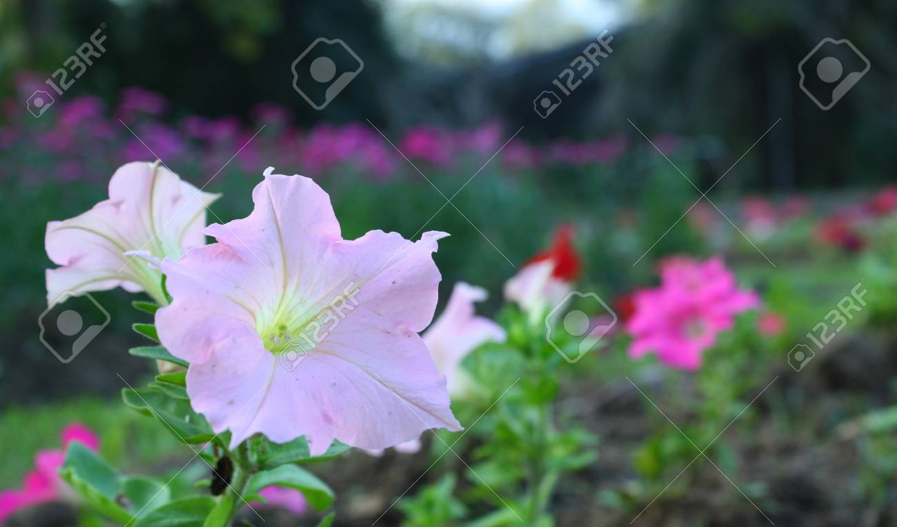 pink petunia flower Stock Photo - 16850553