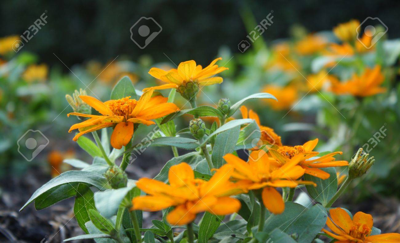 Moonlight Gold Zinnia Flower Stock Photo Picture And Royalty Free