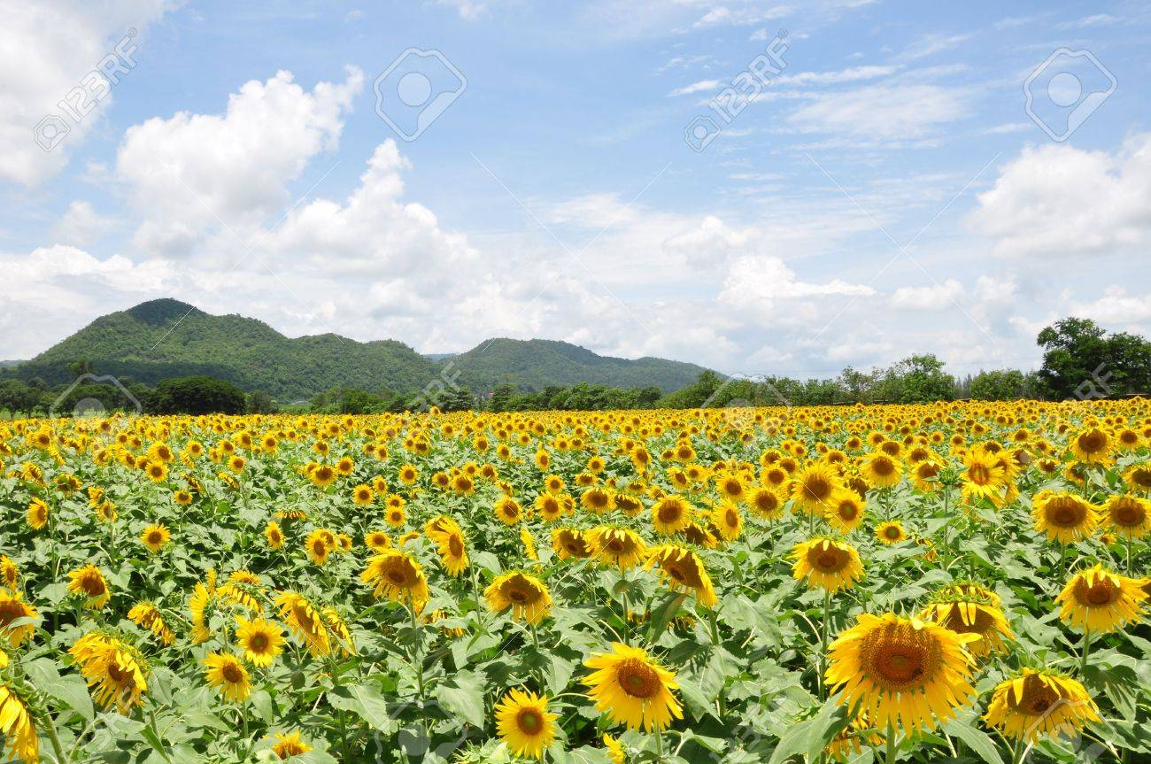Yellow sunflower field Stock Photo - 7693193