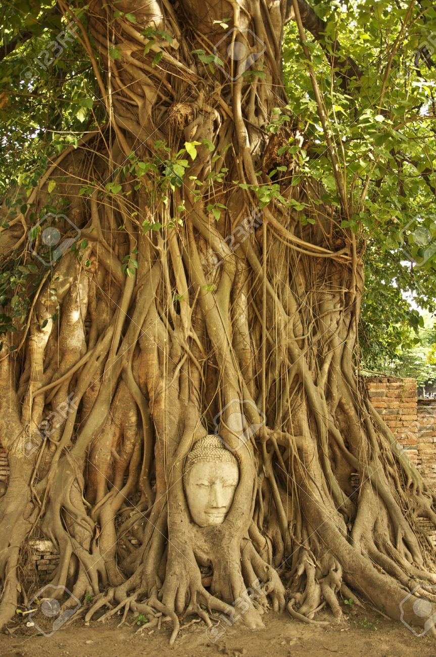 Buddha Head In The Roots Of An Overgrown Fig Tree In Ayutthaya ...