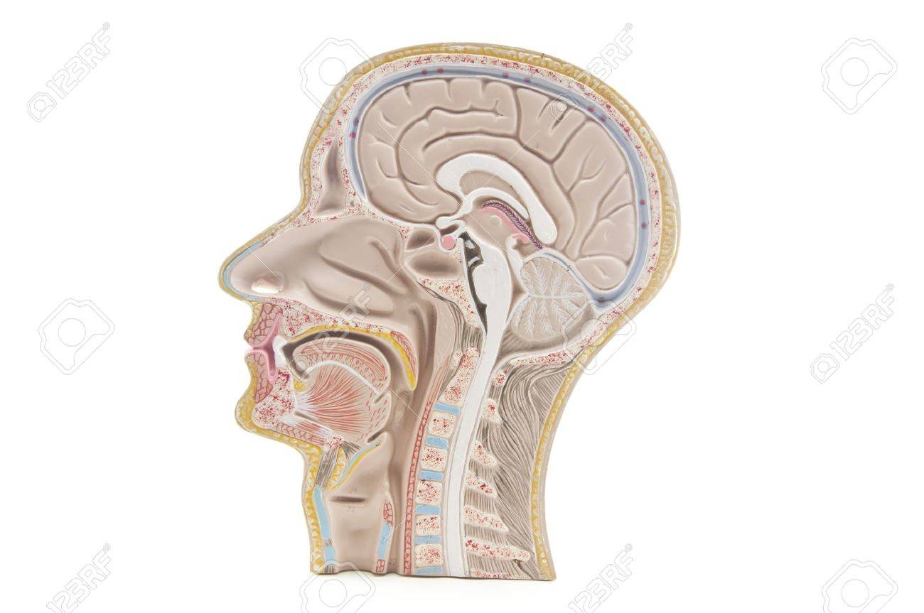 Human Head An Neck Anatomy Stock Photo, Picture And Royalty Free ...