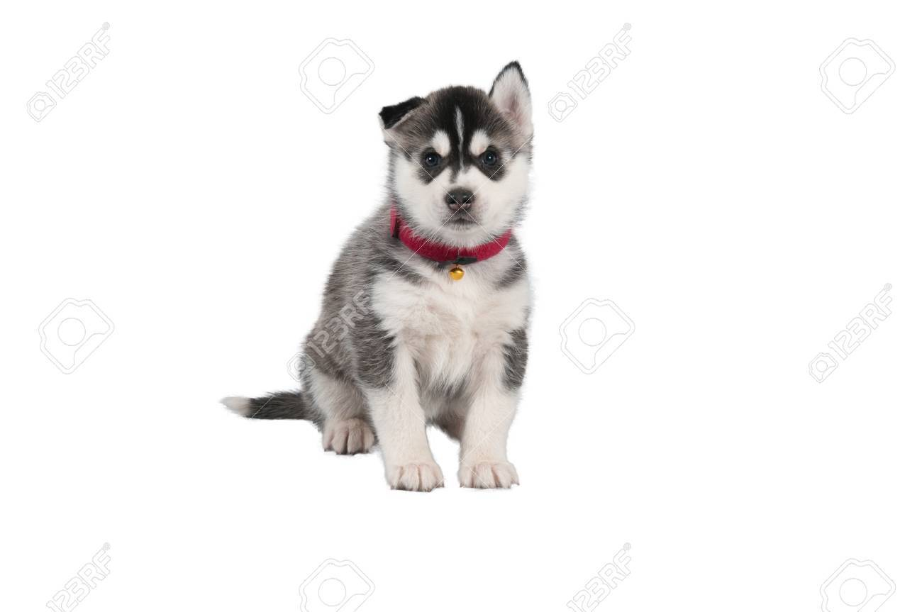 Husky Puppy On White Background With Red Christmas Ribbon Stock ...