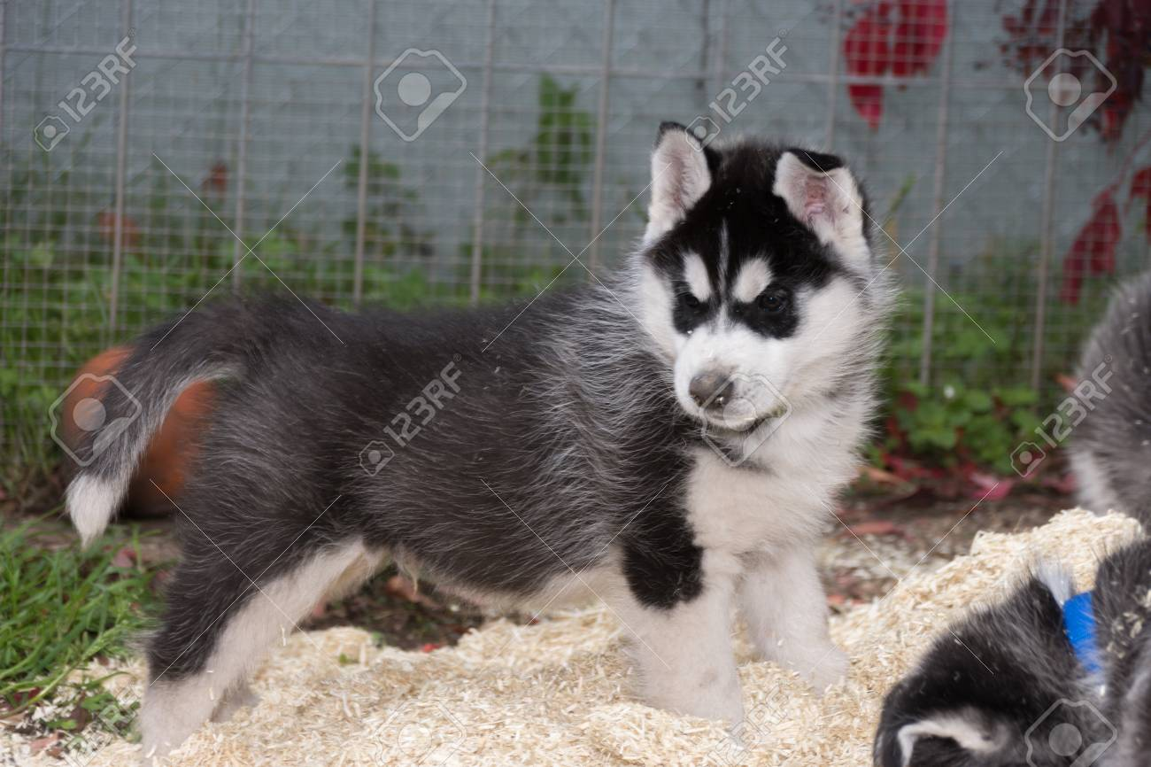Husky puppy playing in litter - 92040225