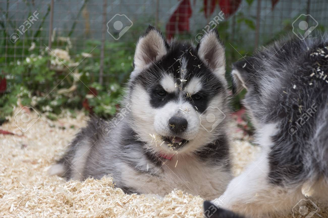 Husky puppy playing in litter - 92206000