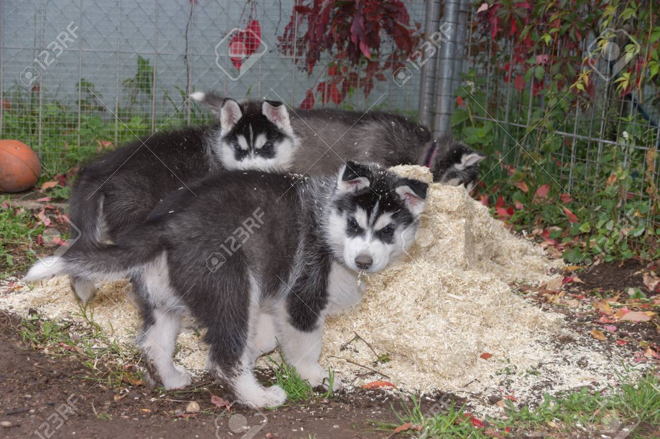 Two Husky puppys playing in litter - 92050265