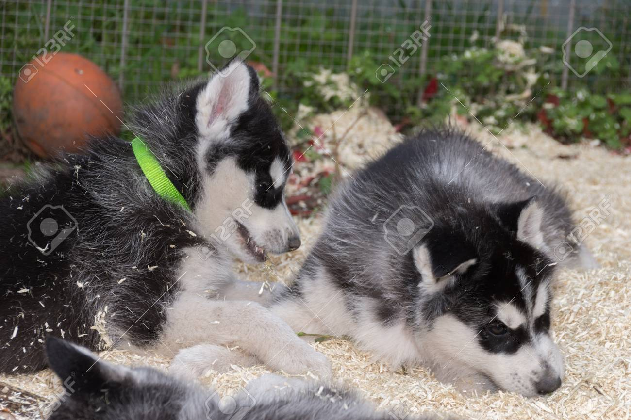 Two Husky puppys playing in litter - 92040229