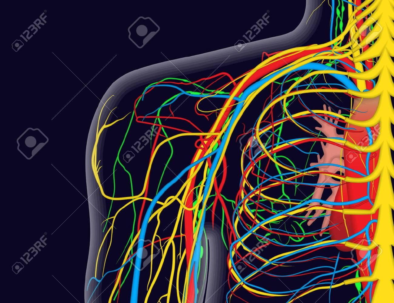 Ilustración Vectorial Médico De La Anatomía Del Hombro Con Nervios ...