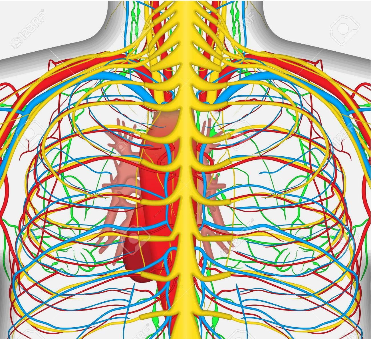Ilustración Médica Precisa De Pecho Espalda Humana, Incluye El ...