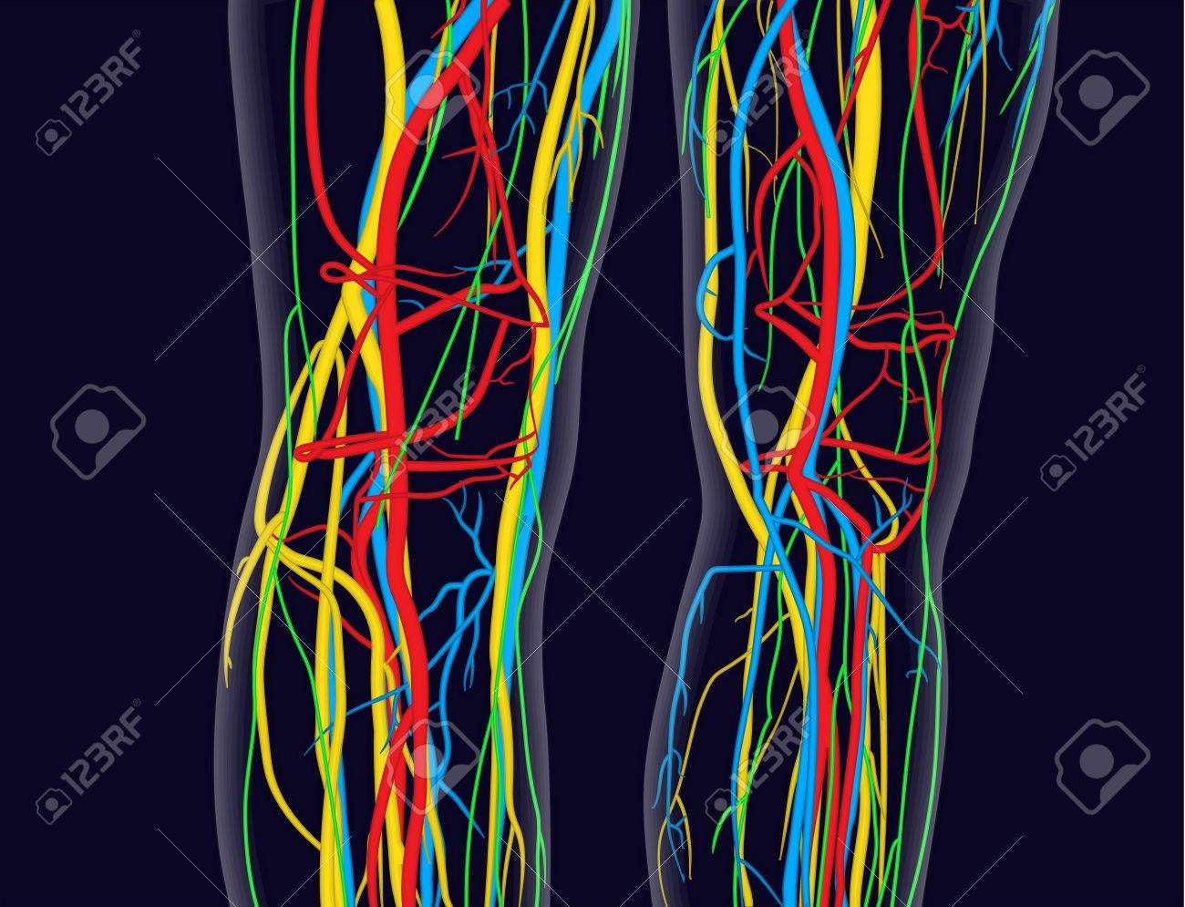 Rztlich Genaue Abbildung Der Knie Und Beine, Schließt Nervensystem ...