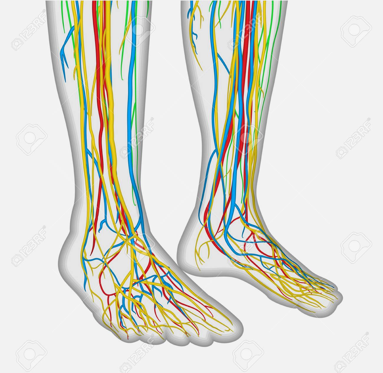 Medically Accurate Anatomy Illustration Of Human Feet Legs With