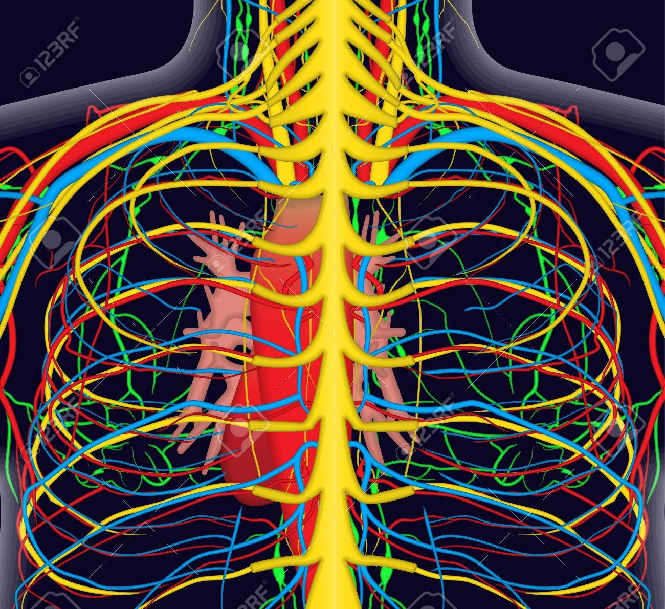 Medizinisch Genaue Anatomie Illustration Der Menschlichen Rücken ...