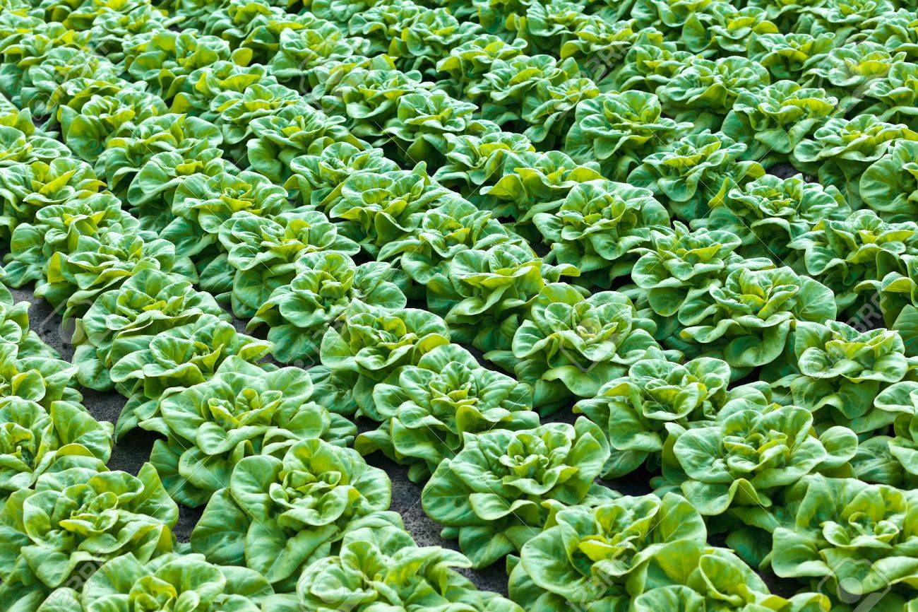 Rows Of Fresh Green Lettuce Growing Inside A Greenhouse Stock Photo
