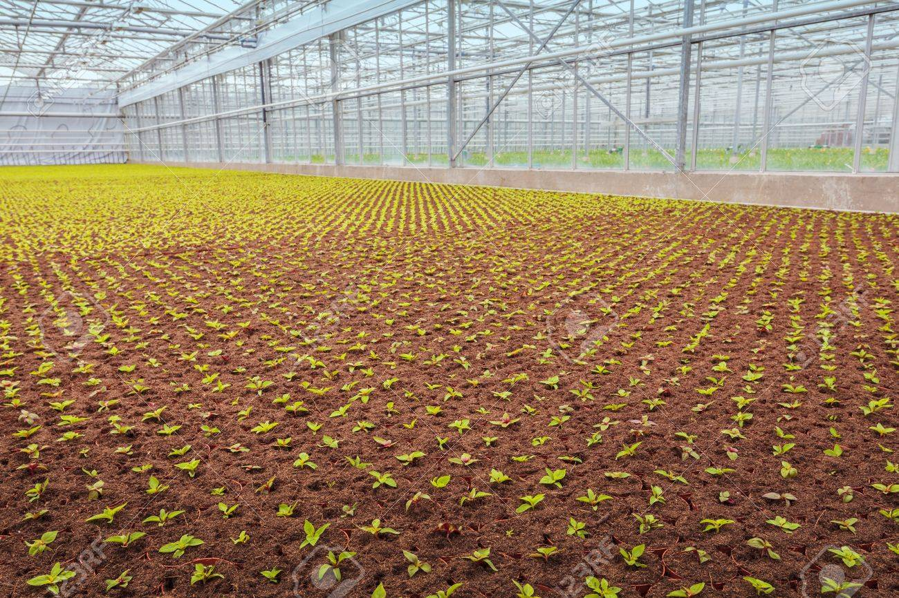 Industrial Growth Of Garden Plants Inside A Greenhouse Stock Photo ...