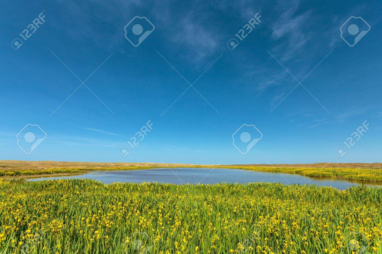 coastal lake blooming yellow narcissus on the dutch island coastal lake blooming yellow narcissus on the dutch island texel stock photo 18033079