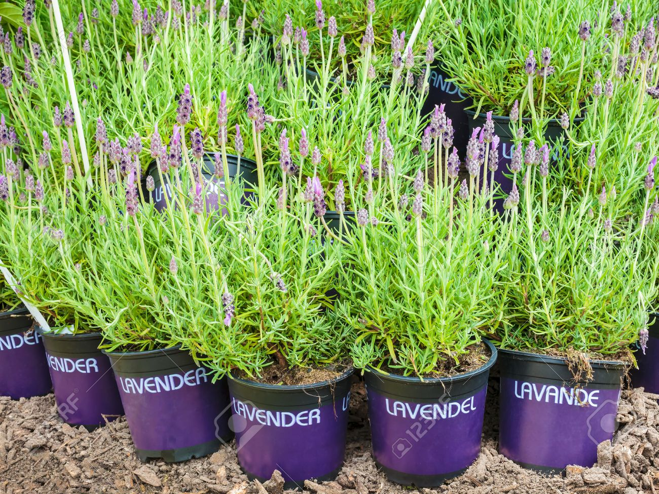 Potted Lavender Plants On Soil With The Text Lavender In Different ...