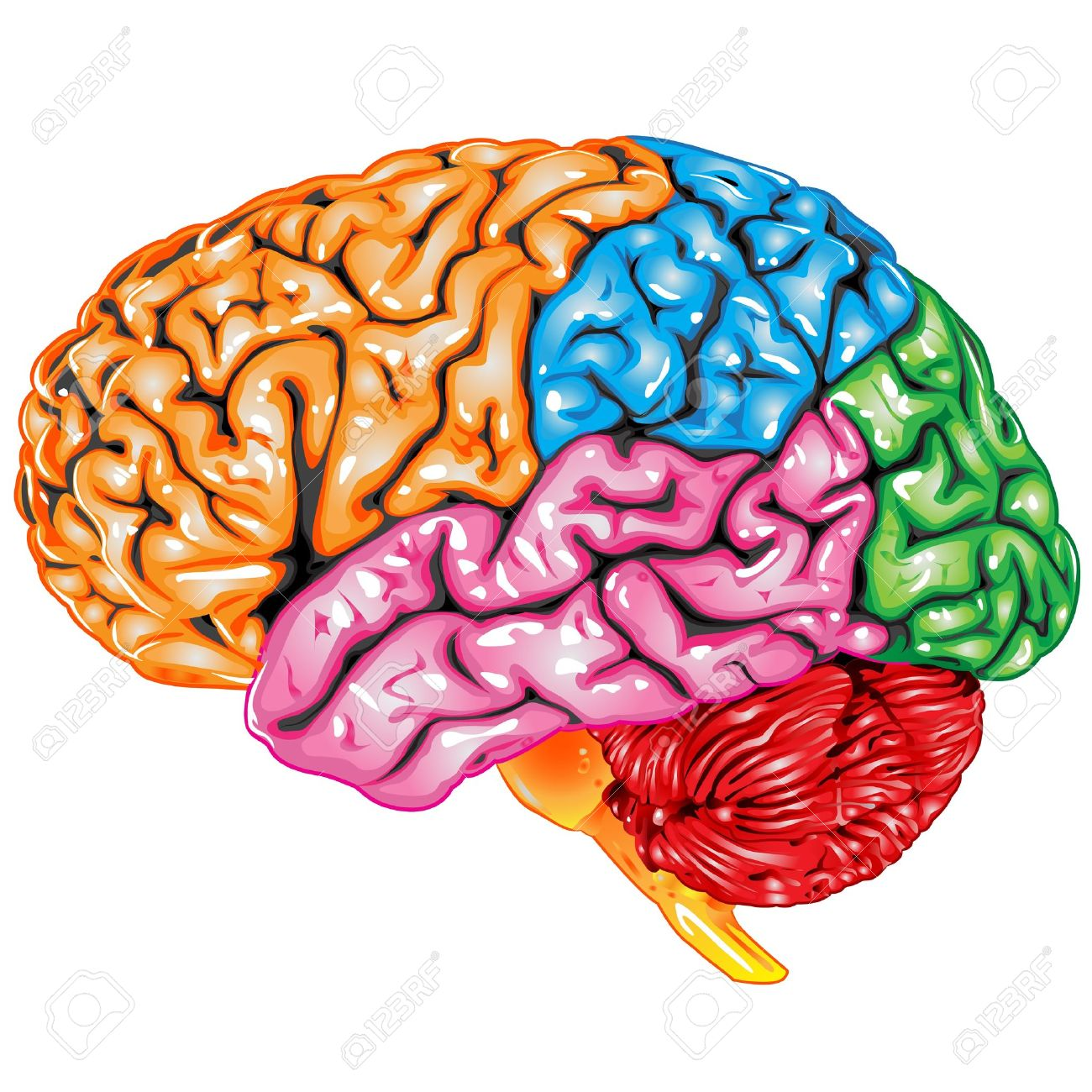 Human brain lateral view Stock Vector - 9640692