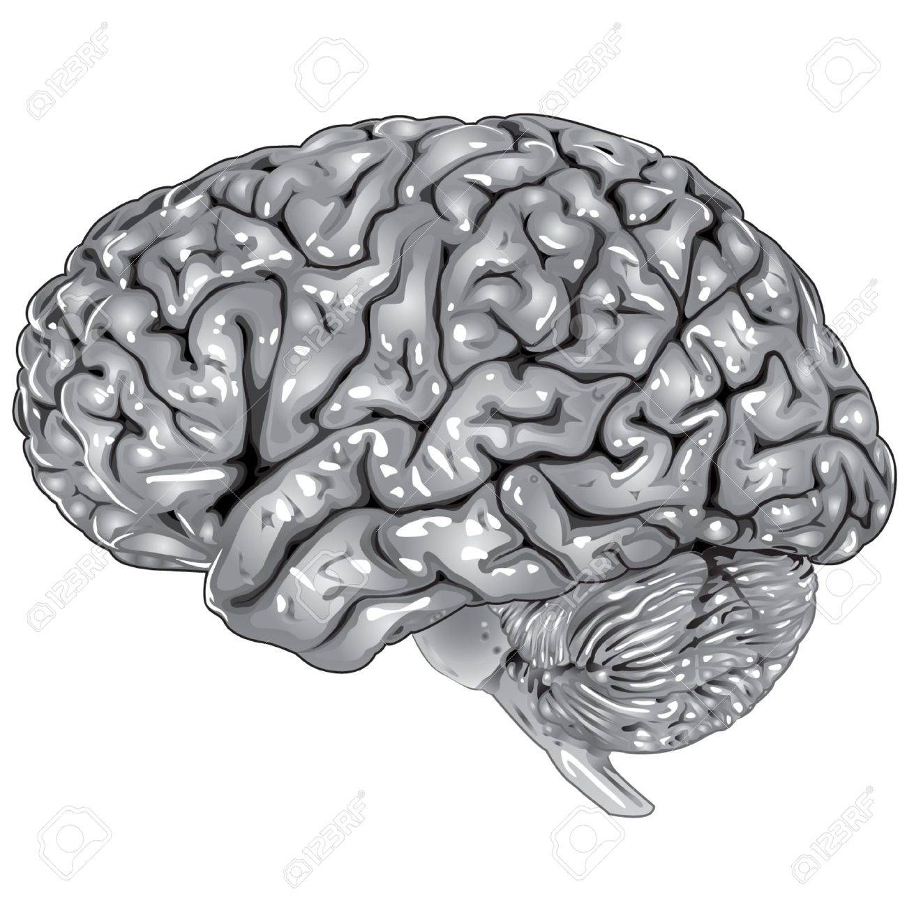 Human brain lateral view Stock Vector - 9806999