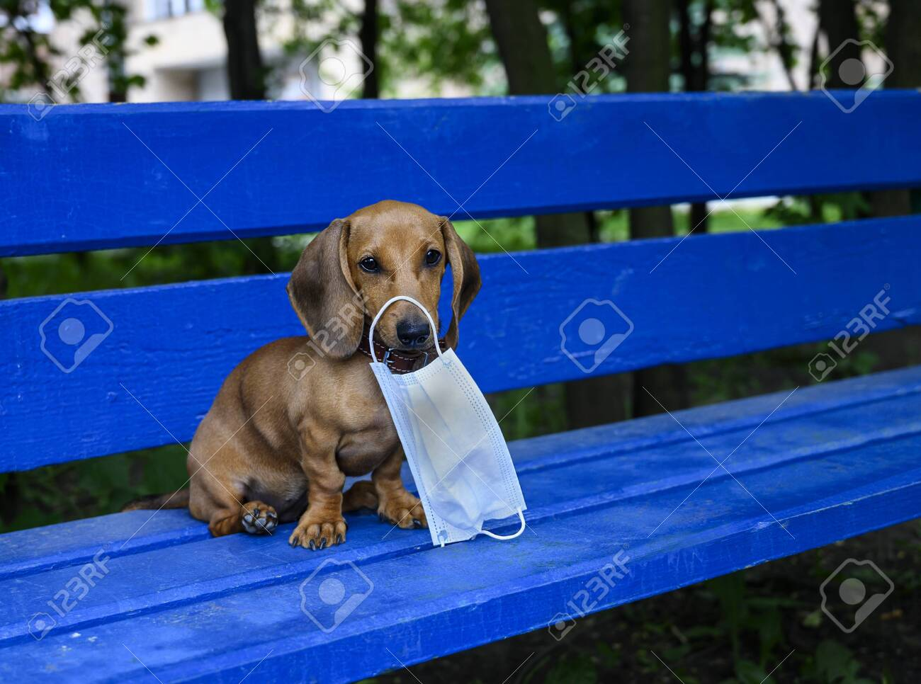 Dachshund Puppy Holds A Protective Mask Against Viruses In His Stock Photo Picture And Royalty Free Image Image 152891479
