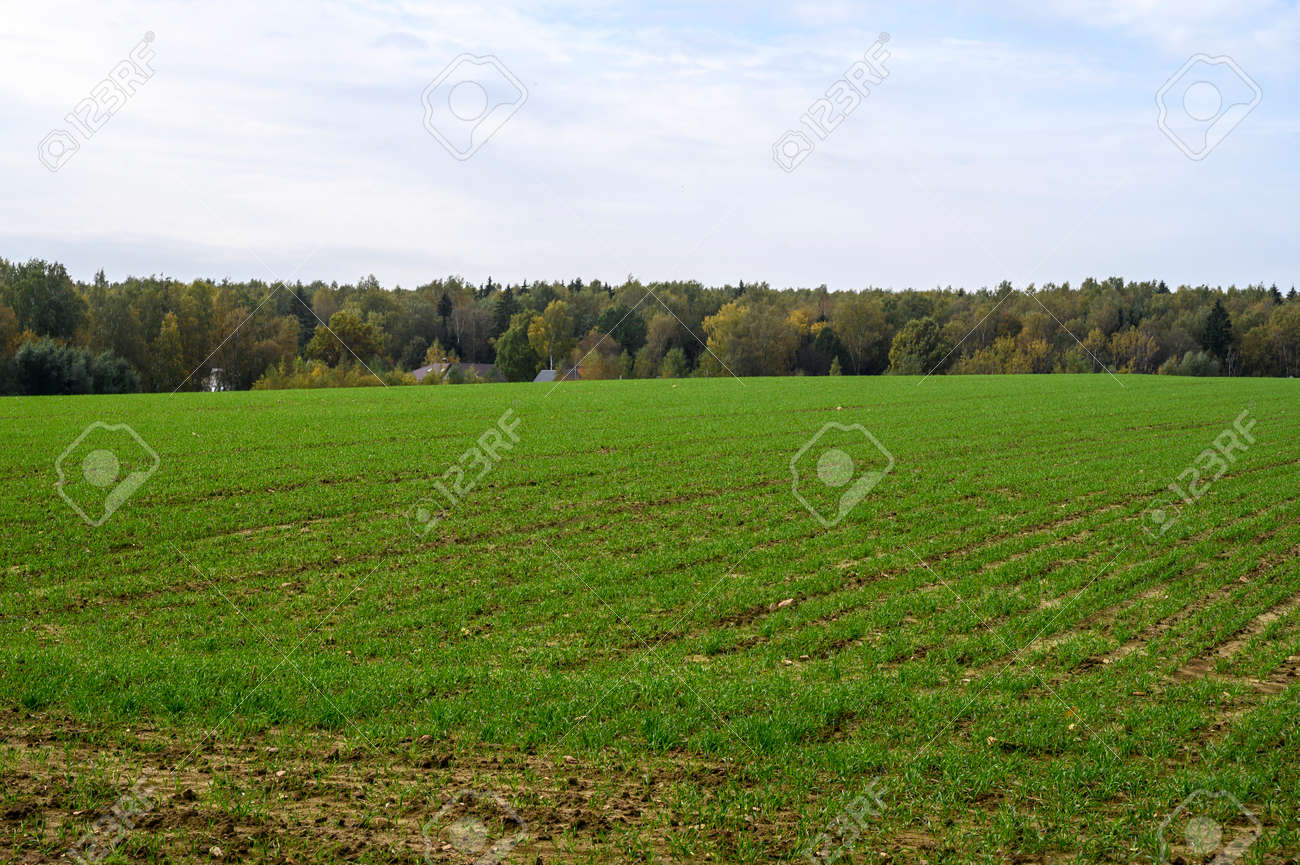 A large field with green grass and a growing forest behind the field on the edge. Blue sunny sky with clouds. - 158888996