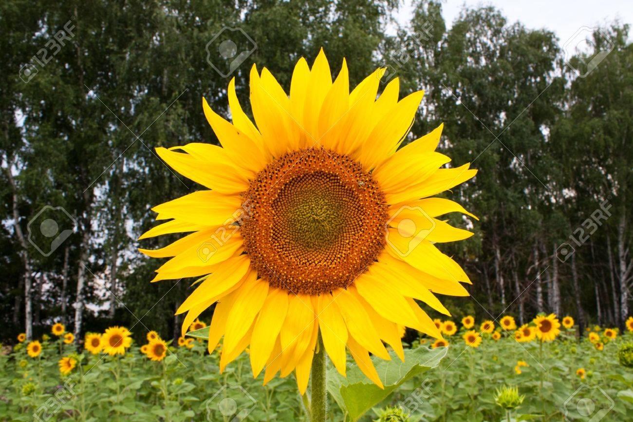 Groß Sonnenblumen Malblatt Bilder - Beispiel Business Lebenslauf ...