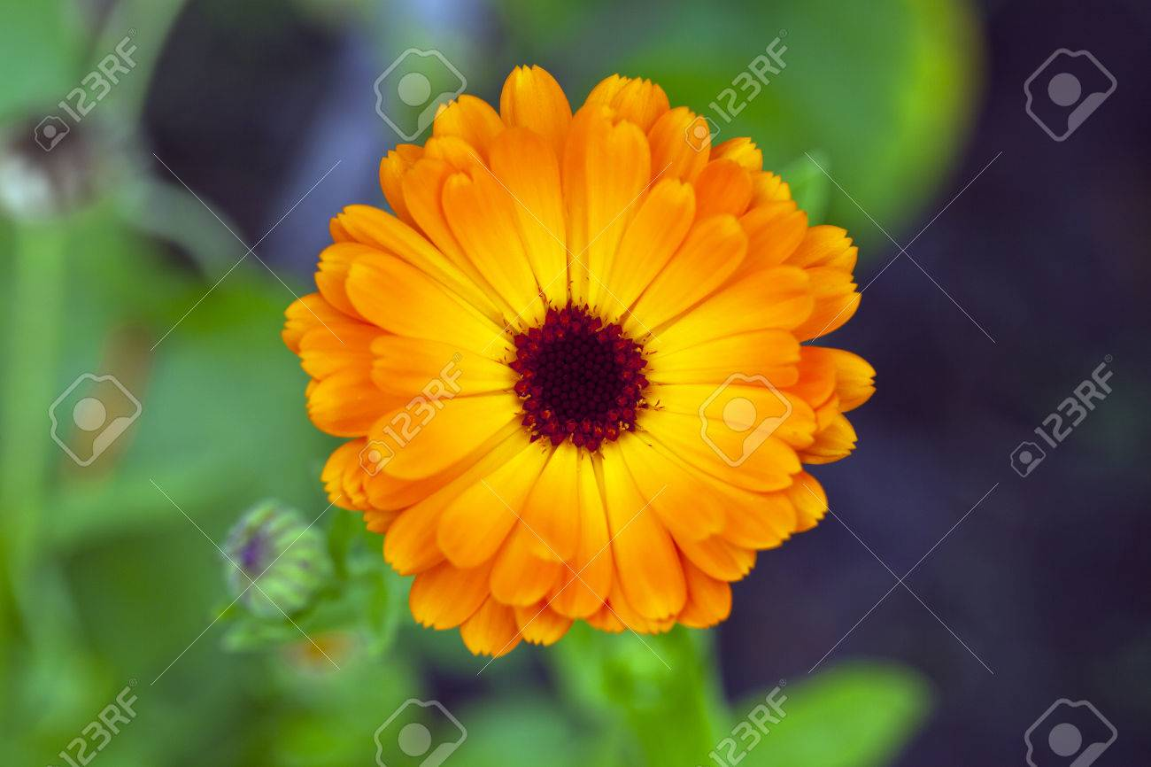 Flower With Orange Petals And A Brown Center Stock Photo Picture