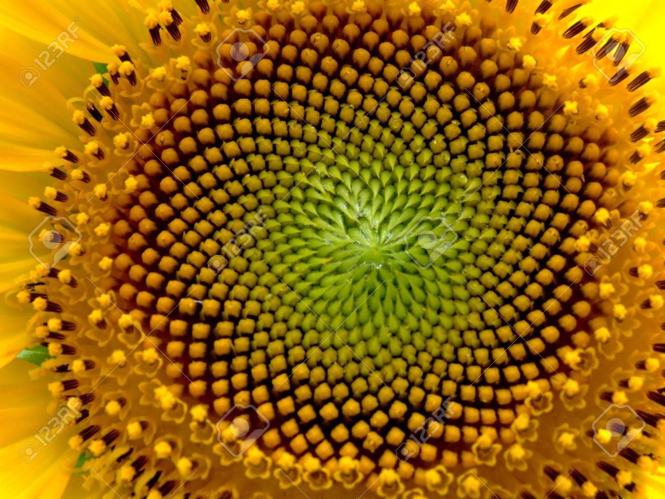 File:Sonnenblume Helianthus 2.JPG - Wikimedia Commons