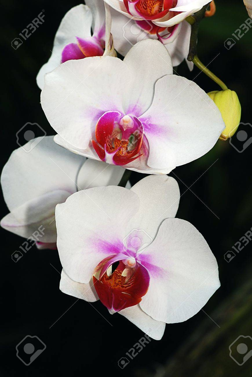 White Butterfly Orchid Flowers Stock Photo Picture And Royalty