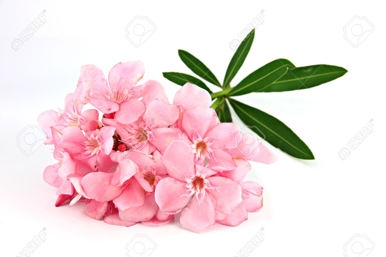 Bouquet Of Light Pink Flowers On A White Background. Stock Photo   19494662