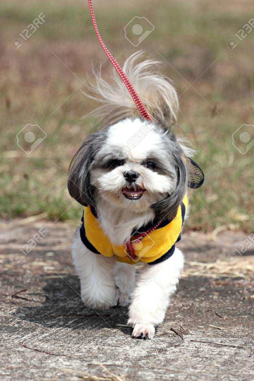Shih Tzu Dog Walking In The Garden. Stock Photo   25079074