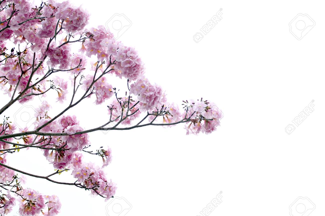 Fiori Rosa Sono In Fiore Su Sfondo Bianco