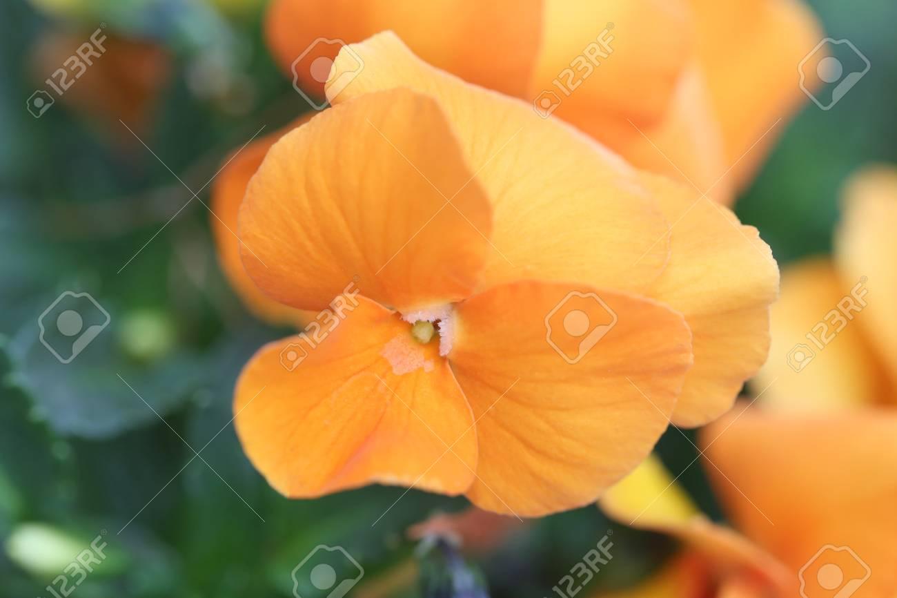 Orange Pensee Fleurs Au Japon Jardin Banque D Images Et Photos