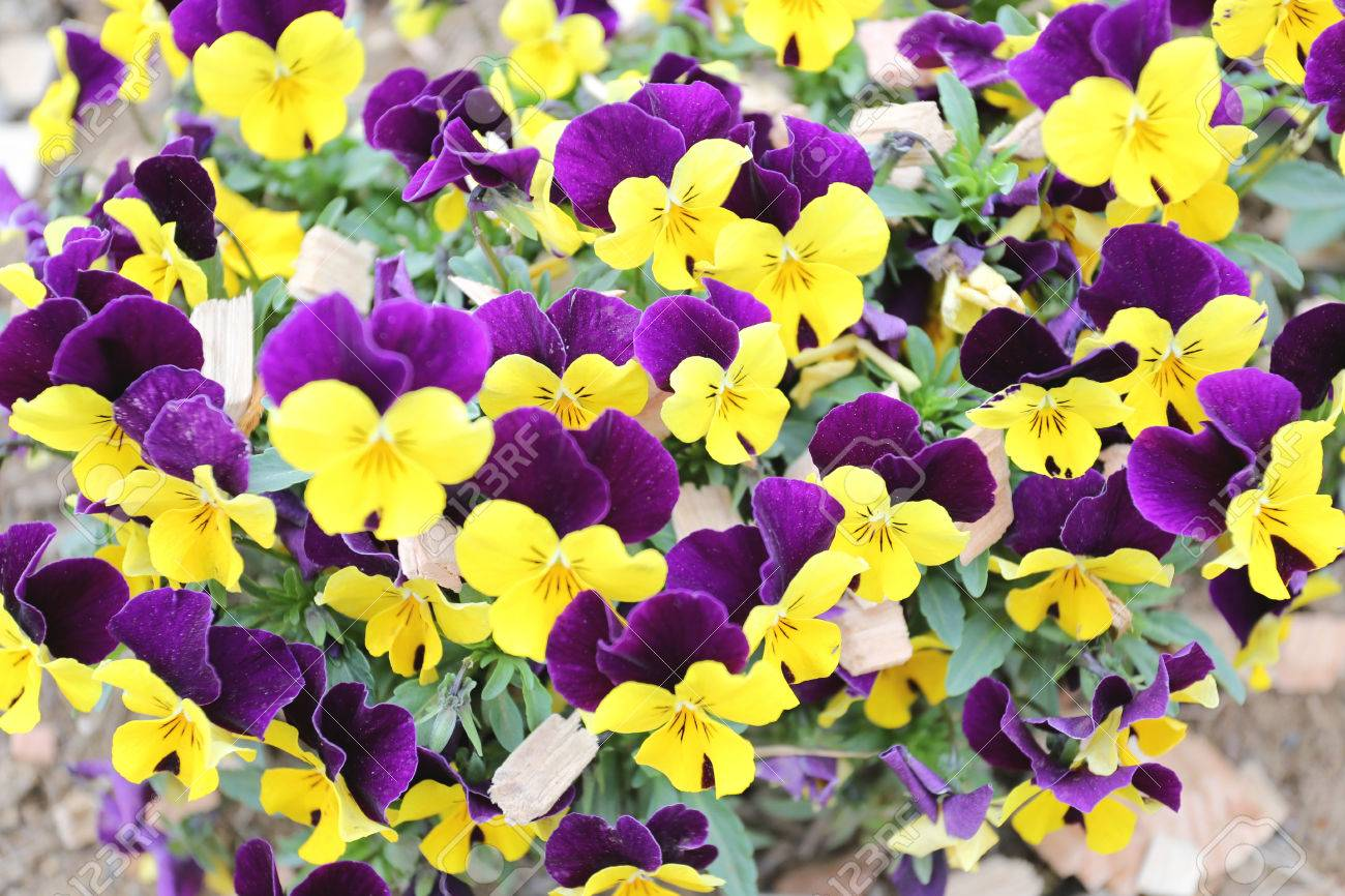 Yellow and violet pansy flower in japan garden stock photo picture stock photo yellow and violet pansy flower in japan garden mightylinksfo