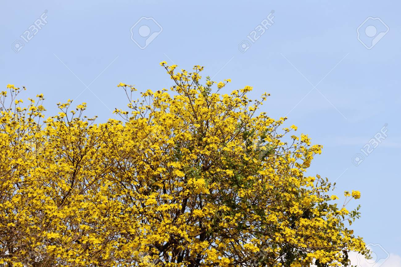 Tabebuia spectabilis flower or yellow tabebuia flower bloom on stock photo tabebuia spectabilis flower or yellow tabebuia flower bloom on tree in the gardentropical yellow flowers a species from india mightylinksfo
