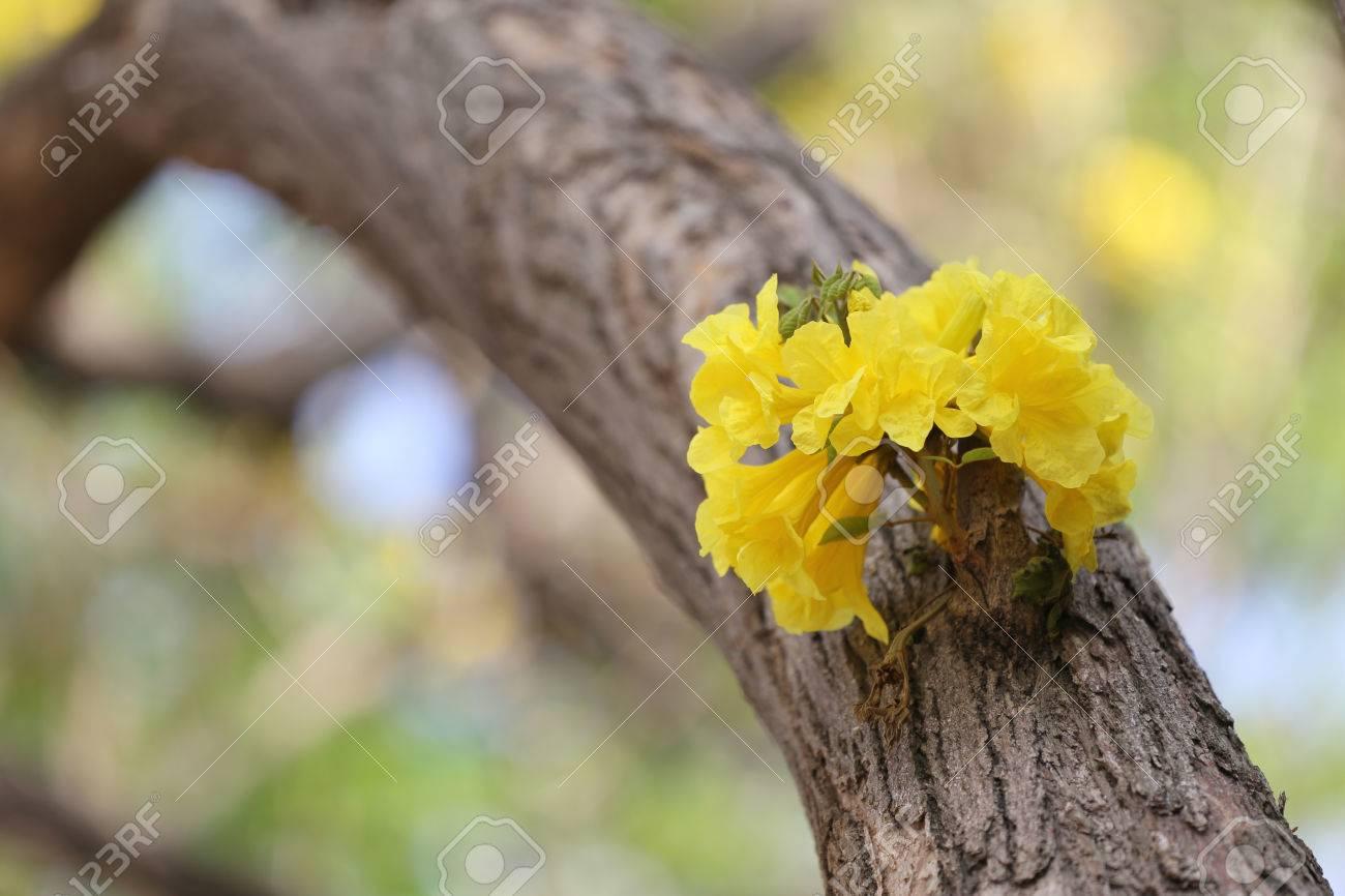Tabebuia Spectabilis Flower Or Yellow Tabebuia Flower Bloom On