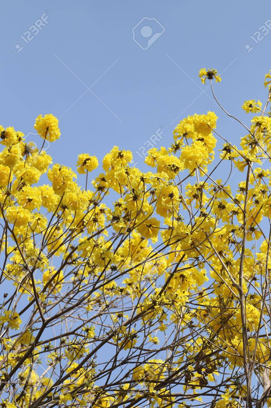 Tabebuia spectabilis flower or yellow tabebuia flower bloom on stock photo tabebuia spectabilis flower or yellow tabebuia flower bloom on tree in the gardentropical yellow flowers a species from india mightylinksfo Images