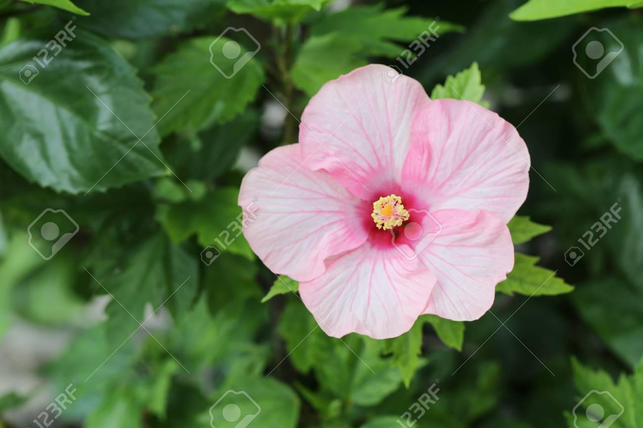 Les Fleurs D\'hibiscus Roses Fleurissent Dans Le Jardin, L\'arbre ...