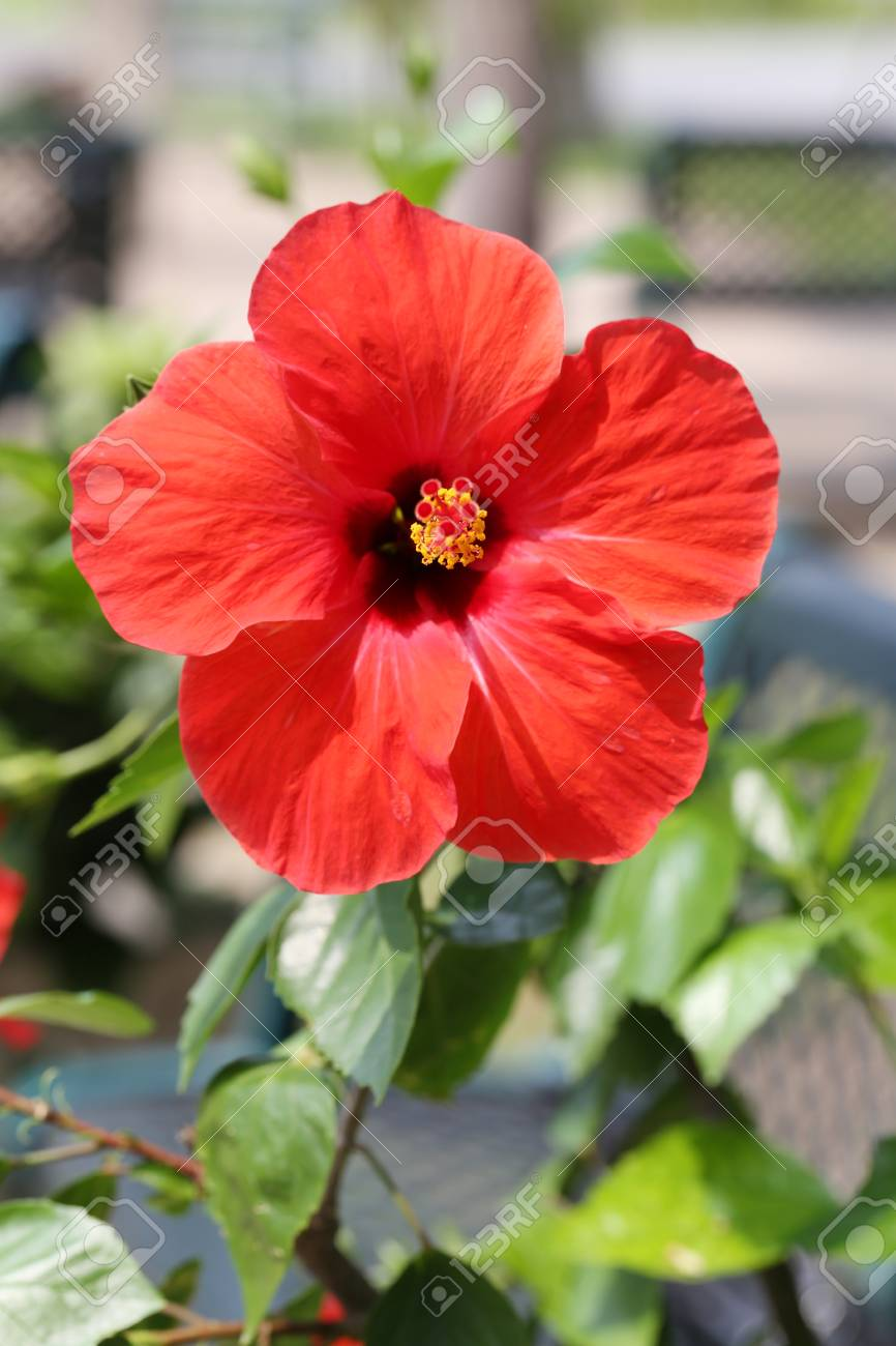 Red Hibiscus Flowers Blossom In The Gardentropical Tree Is