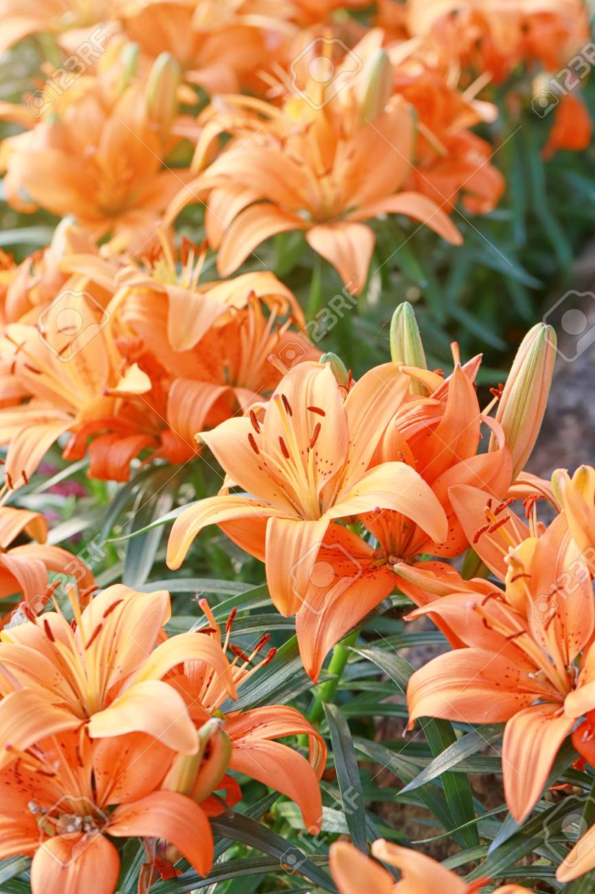 Lily Flower Of Orange Color Bloom In The Garden Stock Photo