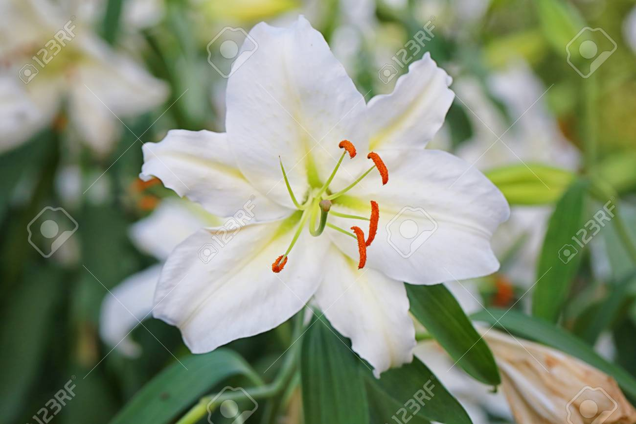 Lily Flower Of White Color Bloom In The Garden. Stock Photo, Picture ...