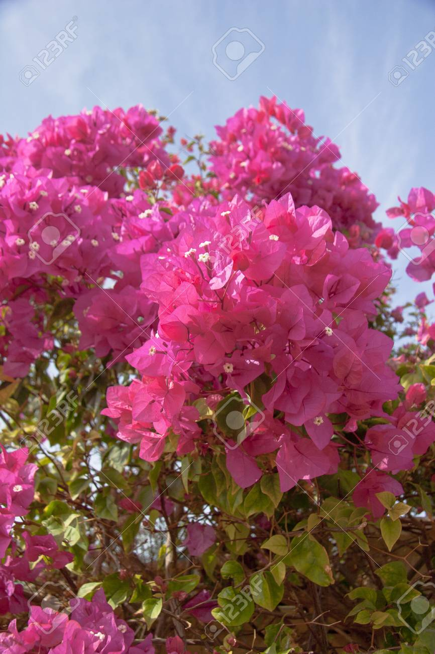 Pink flowers on the bush at summer day stock photo picture and pink flowers on the bush at summer day stock photo 14393310 mightylinksfo