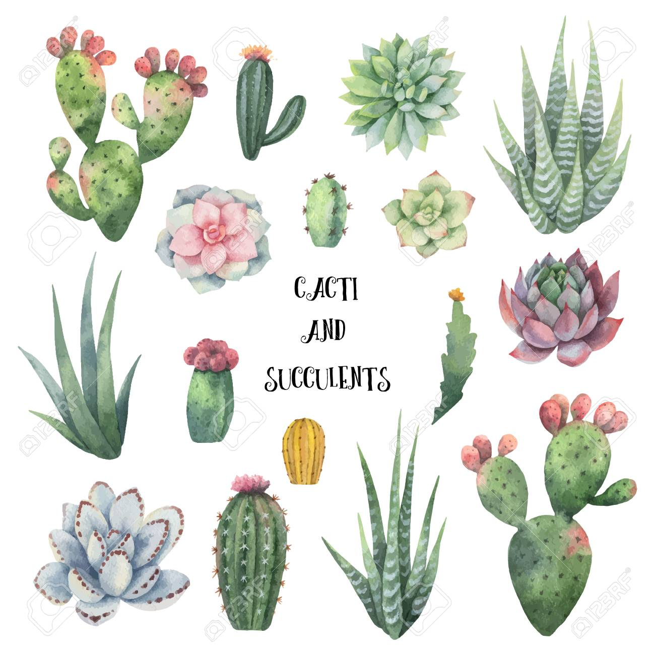 Watercolor vector set of cacti and succulent plants isolated on white background. - 100892486