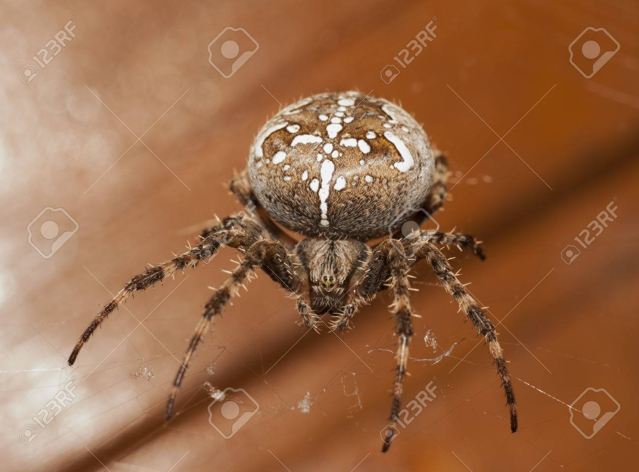 The Big Brown Spider Closeup Stock Photo, Picture And Royalty Free ...