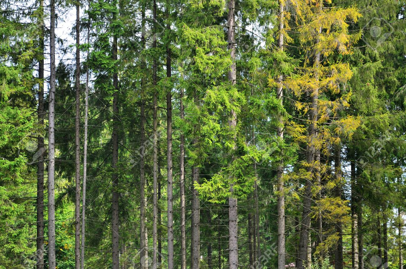 Photo of tree trunks of high forest trees that change color in early autumn  Stock Photo 47b662442707