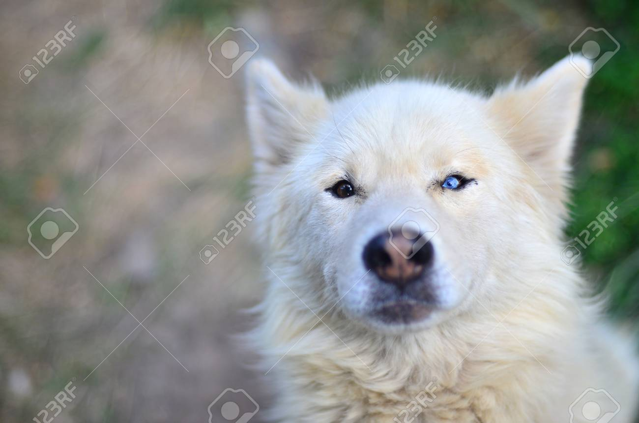 Portrait of the white siberian samoyed husky dog with portrait of the white siberian samoyed husky dog with heterochromia a phenomenon when the eyes voltagebd Image collections
