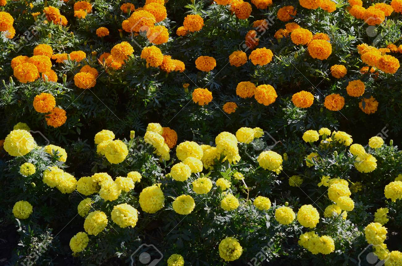 Blossoming Marigolds Flowers In The Garden Many Small Orange