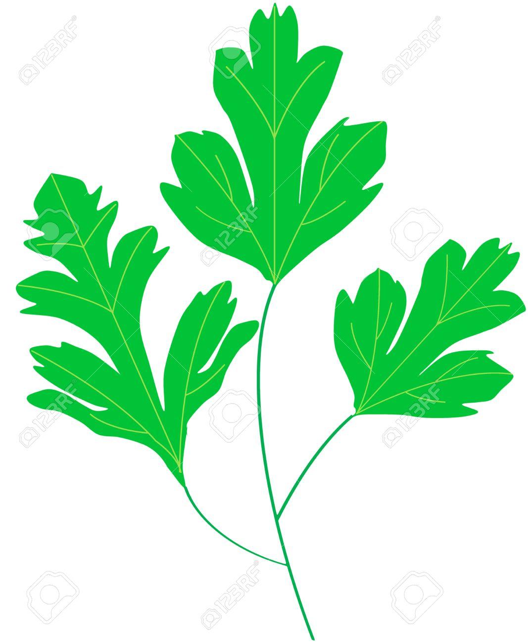 coriander cilantro green leaf - 24902291