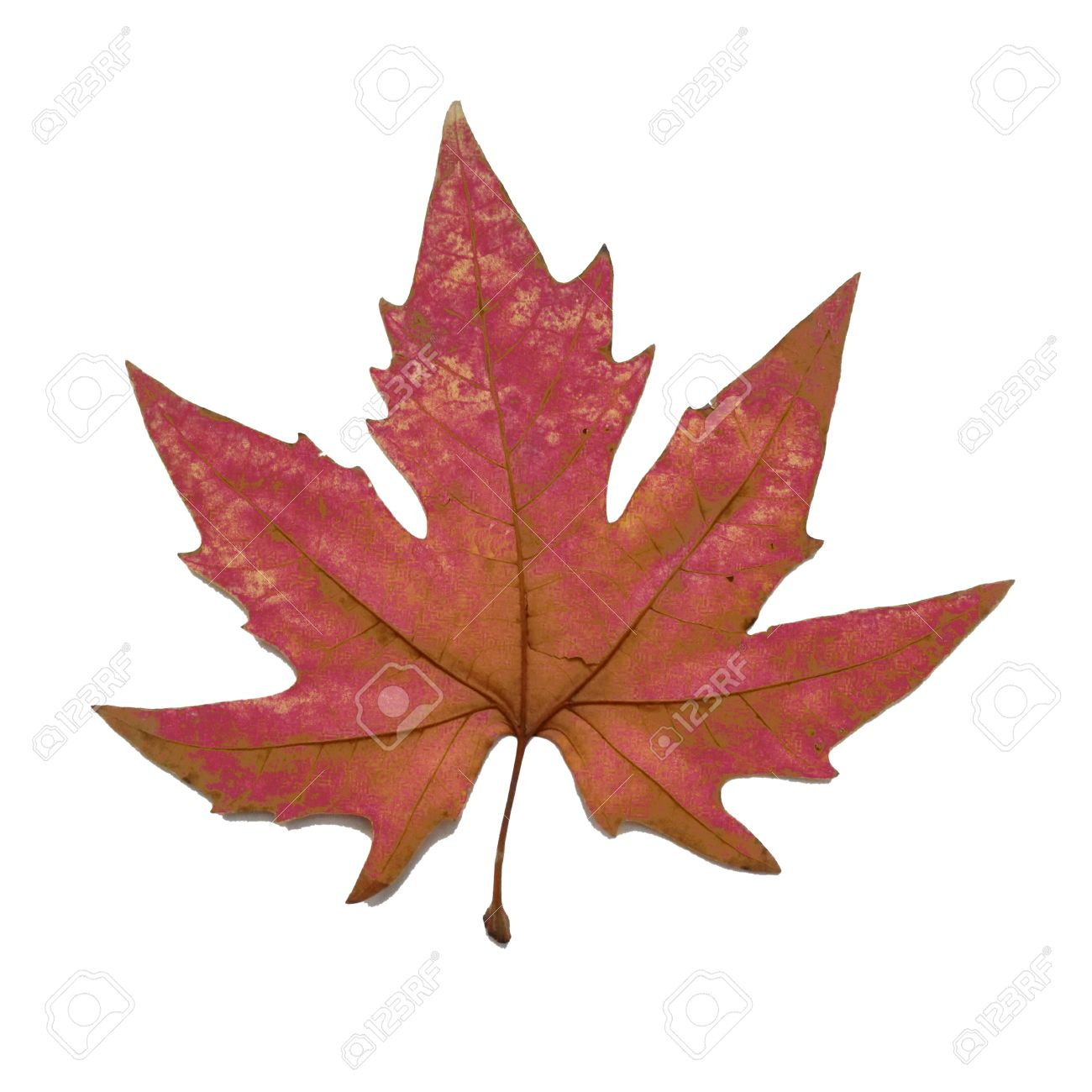 red autumn leaf chinar fall leaf stock photo picture and royalty
