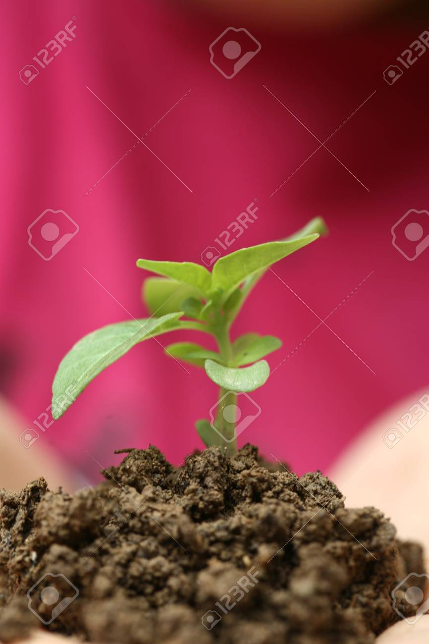 Seedlings in the hands of a girl image Stock Photo - 7033093