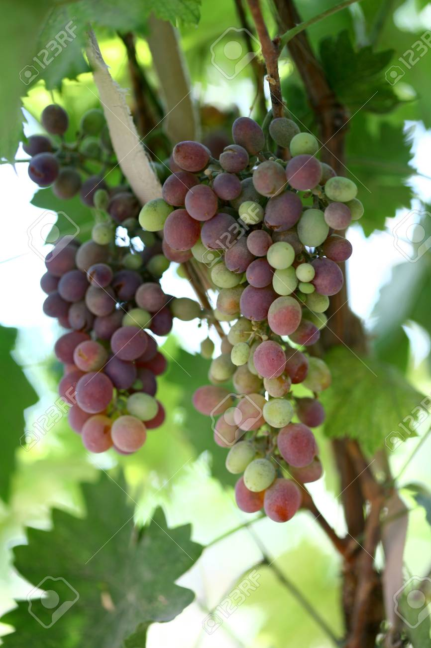 The Grapes That Grow On Trees In The Garden A New Image Stock