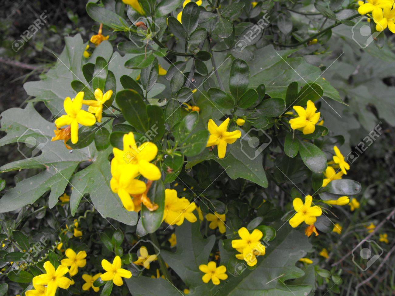 Mediterranean Shrub With Beautiful Yellow Flowers Stock Photo